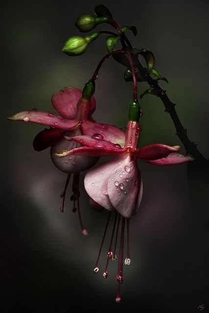 : Fuschia, Red Flower, Nature, Fuchsia, Beautiful Flowers, Bleeding Heart, Flowers, Photo, Garden