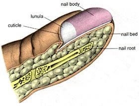 Reading Fingernails indicates disorders