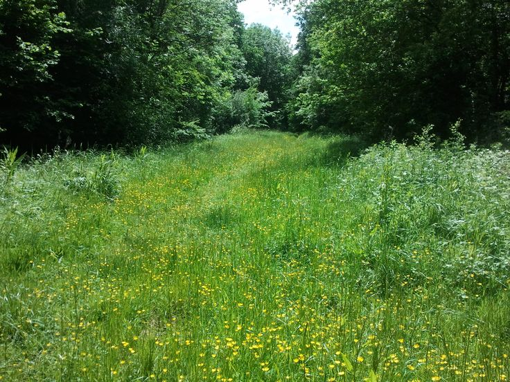 Buttercup meadow in the wood