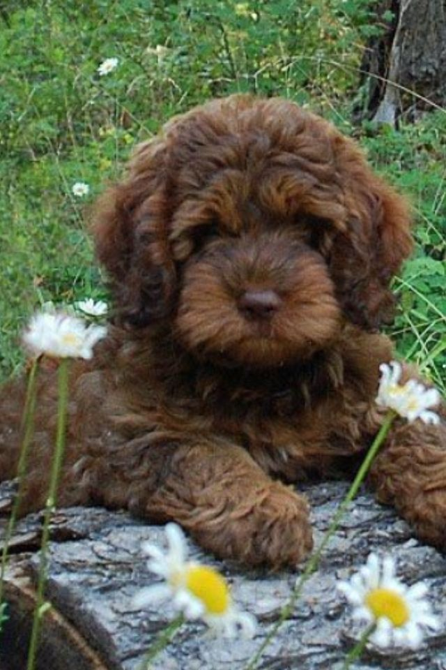 Wonderful Labradoodle Anime Adorable Dog - 1ee0fea85cbfa8c018cc3289eda566ec--chocolate-goldendoodle-labradoodle-dog  Graphic_766535  .jpg
