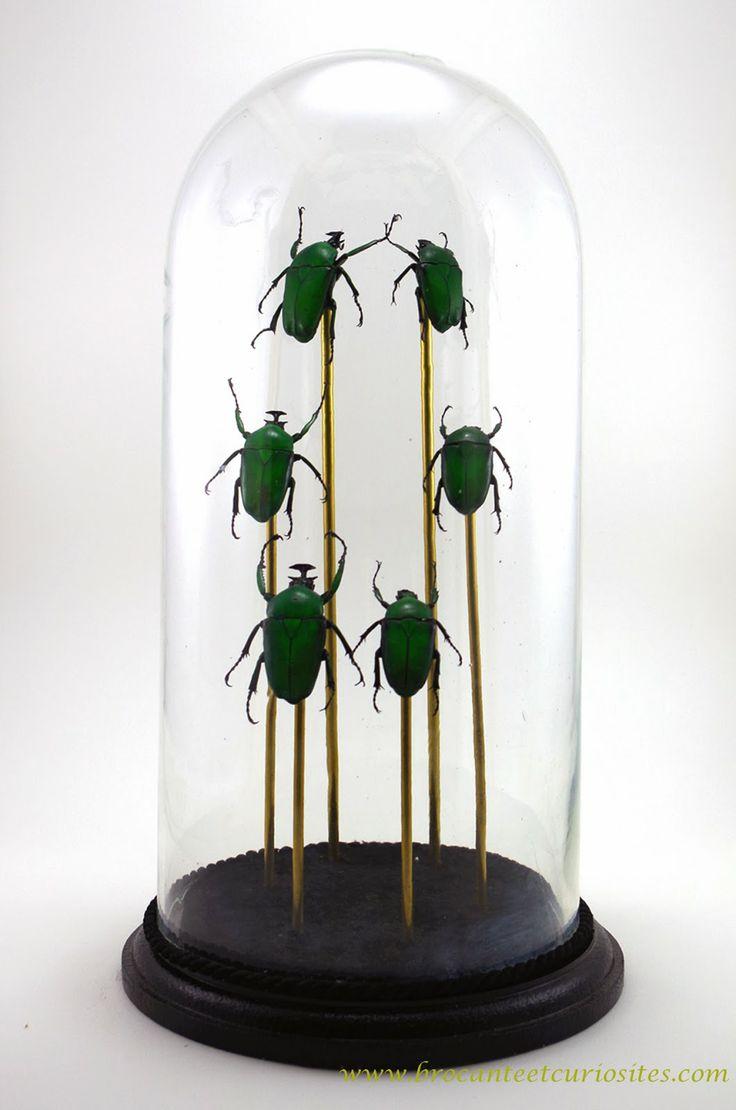 Scarab e dicronorhina micans sous globe cabinet de curiosit cloches pinterest taxidermy - Globe cabinet de curiosite ...