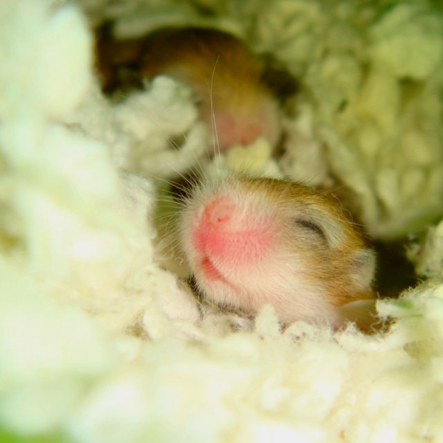 Pin by Georgianna Pennacchia on exotis dwarf chinese hamsters | Baby