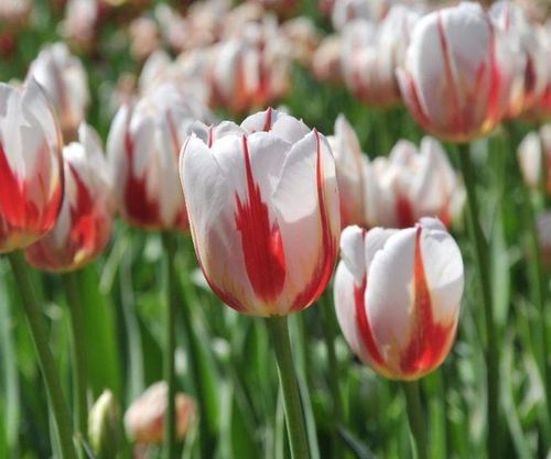 42 heures à Ottawa Outaouais pendant le Festival des tulipes | JDM