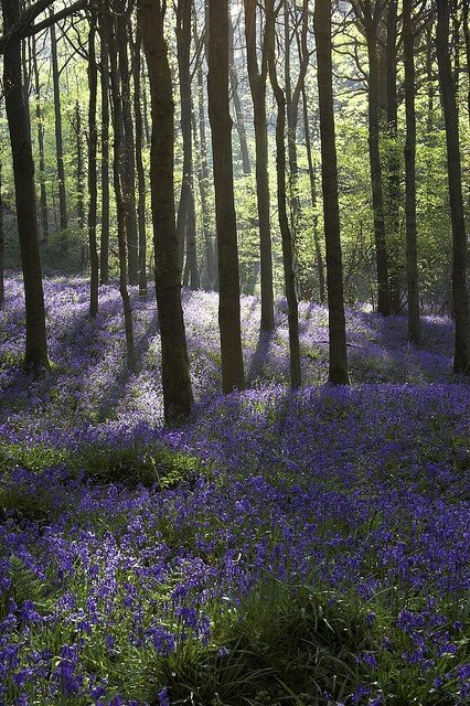 Can't wait for Spring when the bluebells fill the woods with azure blue and their delicate, elusive scent......Bluebell wood dawn in Surrey by Mark Candlin, via Flickr