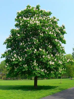 chestnut trees | Horse Chestnut is a beautiful, well-known tree, widely encountered in ...