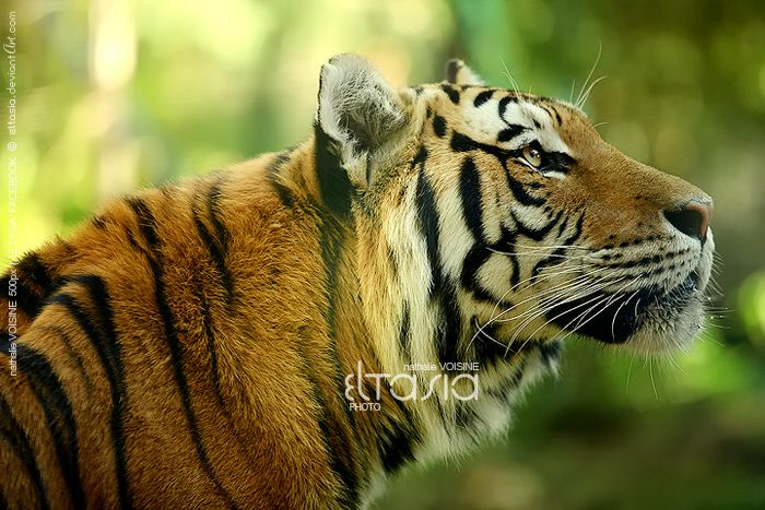 Awesome Tiger Profile.