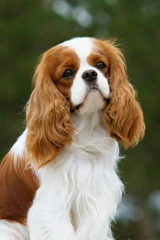 Cavalier King Charles Spaniel <3 ~ re-pinned by doggiechecks.com