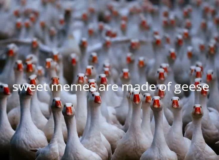 Sweet memes are made of geese (yep...gonna be singing that song like this from here on out...)