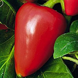 Pimento pepper are often sold roasted and peeled in cans or jars, or used to stuff green olives.