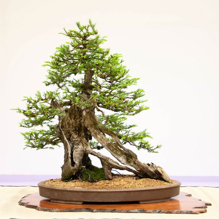 Coast Redwood (Sequoia sempervirens) – 87 years old