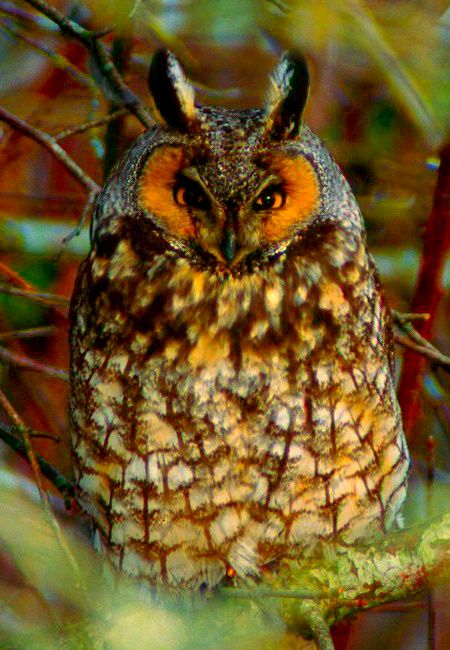Until recently, Long-Eared Owls could be seen at the Carolina Raptor Center.