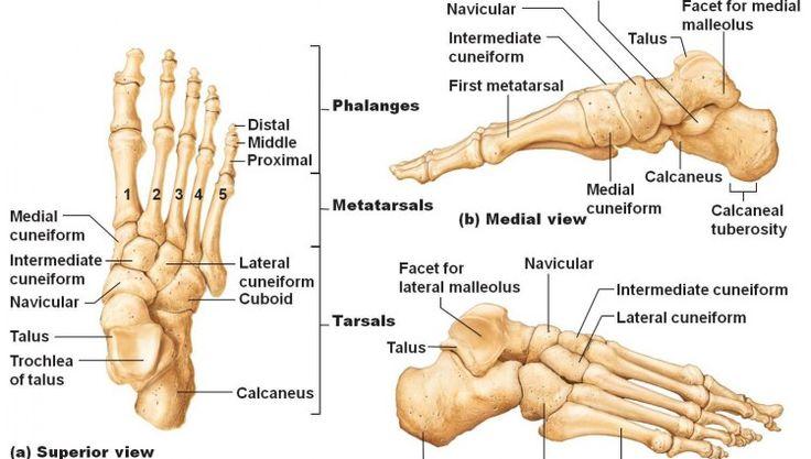 figure structure : skeleton | drawing tutorials: the human, Skeleton