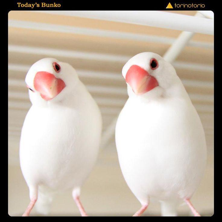 2015/08/17 今日のぶんこ 白文鳥兄弟(獅子丸&ドロンパ):「本日のシンクロ兄弟」(Blogはこちら:http://amba.to/1K1q2v6 ) #buncho #文鳥 #今日のぶんこ #bird #鳥