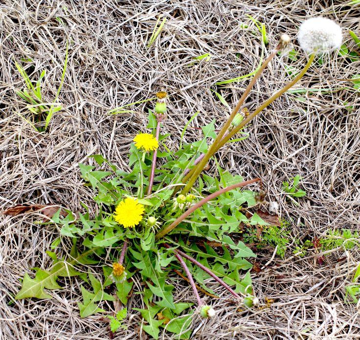 Dandelions are picky. The casual observer might not think so as Dandeliions are a ubiquitous weed in many parts of the country and world. But as in real estate, the important element is location, location, location.