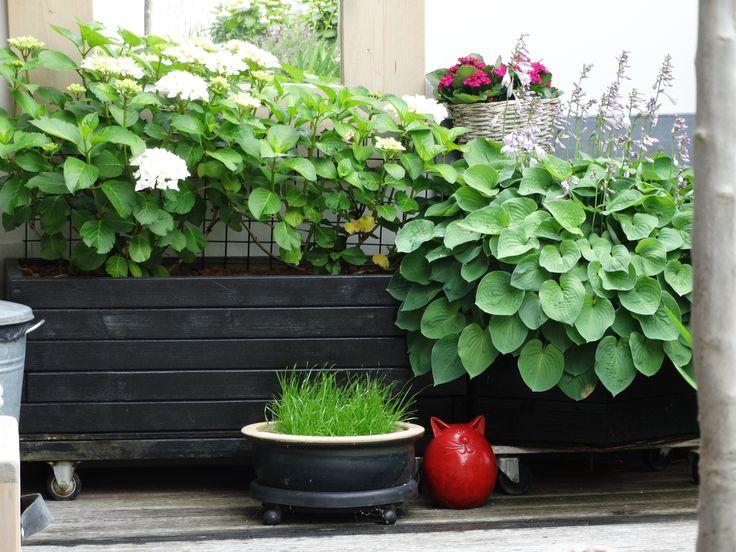 Witte Hortensia en Hosta plus bak gras voor de katjes ;-)
