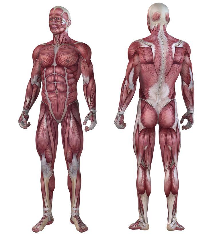 Charmant Die Gnomon Workshop Anatomie Werkstatt Galerie - Anatomie ...