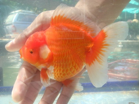 132 best images about beautiful fancy goldfish on for Jans tropical fish