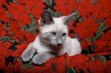 Google Image Result for http://www.life-with-siamese-cats.com/images/lilac-point-siamese-01.jpg Looks exactly like baby kitten Starr!! <3