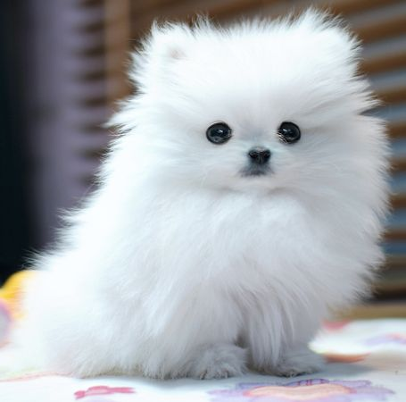 tooo cute and white & fluffy: Dogs, Pompom, Pet, Teacup Pomeranians, White Pomeranians, Powder Puffs, Pom Pom, Pomeranians Puppys, Animal