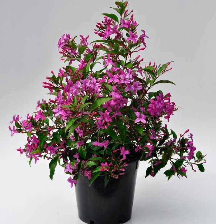Цветок псевдоэрантемум: фото и уход в домашних условиях