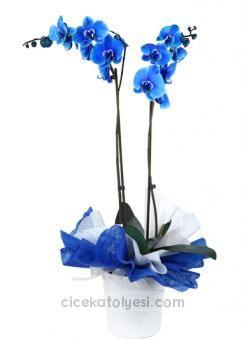 2'li Mavi Orkide   https://cicekatolyesi.com/cicek-sepeti/gonderim-amaci/dogum-gunu-cicekleri