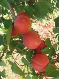Prunus armeniaca Bergeron