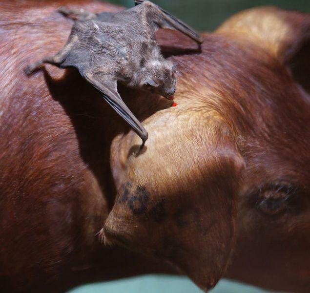 Вечеринка вампиров: как летучие мыши делятся выпитой кровью