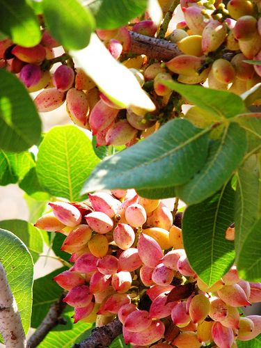 This is my Greece | Fresh pistachio nuts growing on bushes on Aegina island, Saronic islands