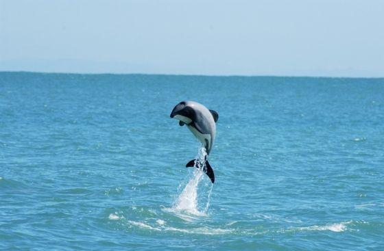 Maui dolfijn bijna uitgestorven - roep Nieuw Zeeland op tot nemen van maatregelen