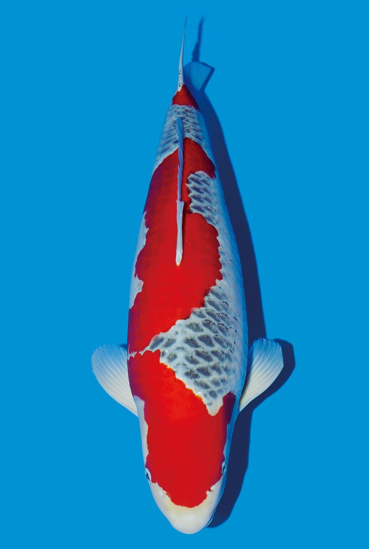 40 best images about goshiki 5color red white black blue for Goshiki koi fish for sale