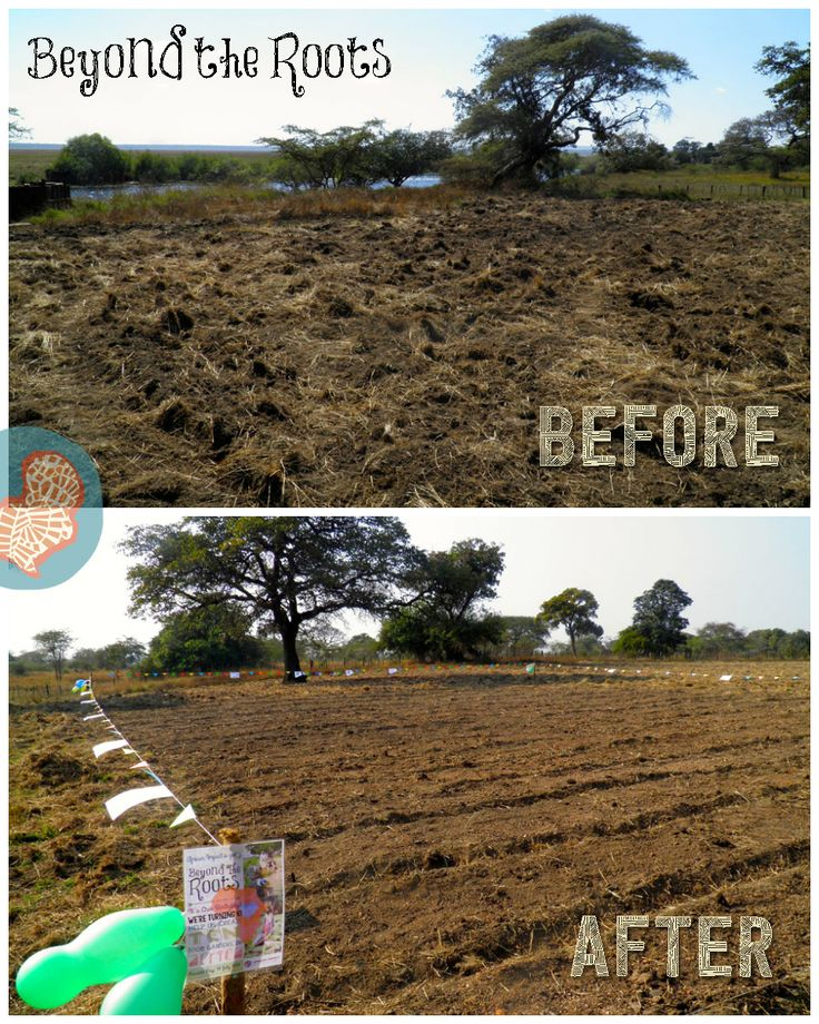 Our #BeyondtheRoots initiative, which saw 10 food gardens being made in 10 communities across Africa, was a great success!   Here's a before and after comparison from the garden at our projects at Chimfunshi Chimpanzee Sanctuary in Zambia. This farm will assist in supplementing the diet of the chimps at the sanctuary.   Learn more about this project: http://www.africanimpact.com/conservation-volunteering/wildlife-research/chimpanzee-and-wildlife-orphan-care-project