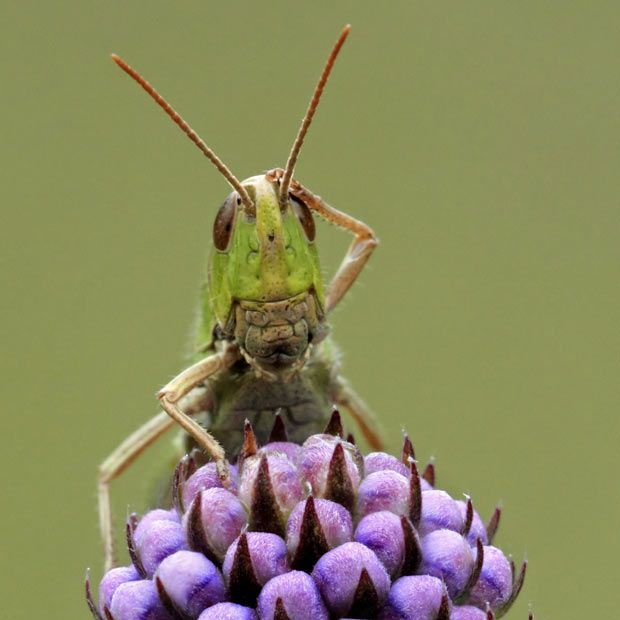This grasshopper appeared a little confused when confronted with a camera lens. The curious insect looked almost human-like as he scratched his head in apparent bemusement. The humorous pose was captured on camera by Matt Cole in Lount Nature Reserve, Leicestershire, England. Some of the strangest and funniest animal pictures of 2011.