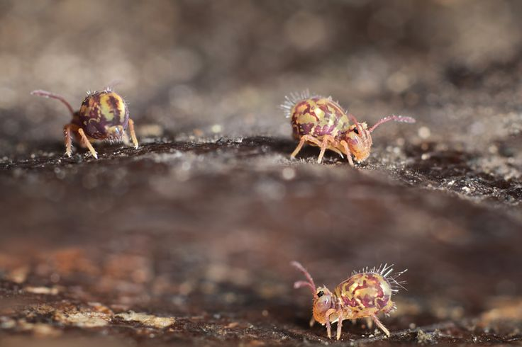 on a leaf - marie1179 - Only Dicyrtomina ornata the last days...not even seen a glimp of another springtail. Because of the freezing temperatures ?  3 layers of 3 images merged in photoshop cs6 for the focus on the springtails. -  http://ift.tt/2iPHo7g IFtemppicpinned in Building blocksdownld in ios #January 6 2017 at 08:50PM#via IF
