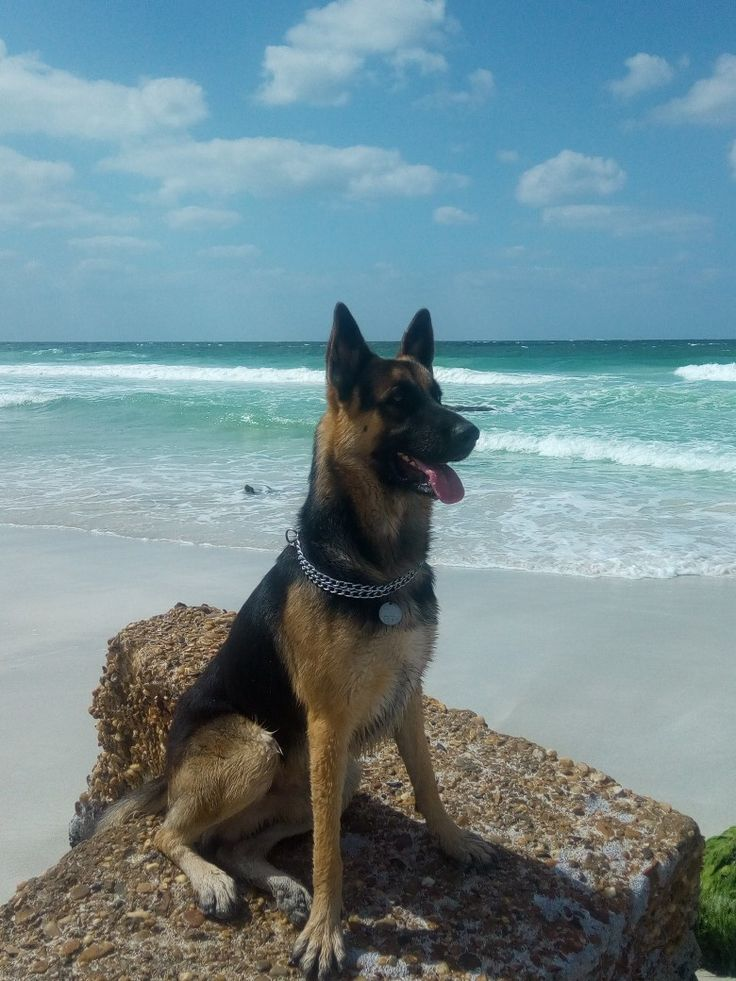 Park Art|My WordPress Blog_German Shepherd Puppies For Sale In Clarksville Tn