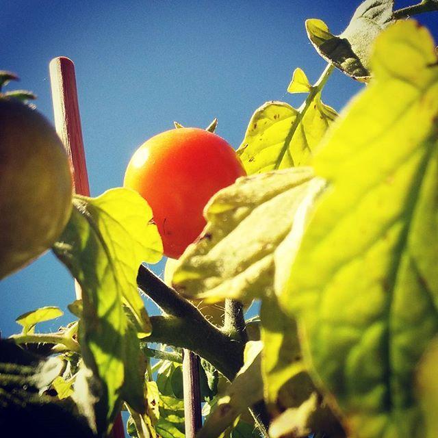 #vangituthetket #sekypsyysittenkin #amppelitomaatti #tomaatti #🍅 #kesäkuu2017