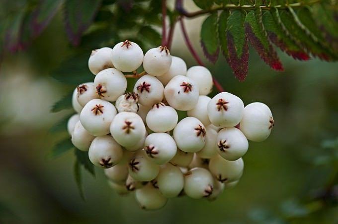 Рябина White Swan. выделяется порядка 80 видов и еще больше гибридов растения. Облик их, как и ареал распространения, совершенно различный. Есть и настоящие гиганты – до 25 метров, и небольшие кустарники – в 2 метра высотой. Окраска плодов может быть бордовой, белой, красной, оранжевой, желтой, кремовой, розовой. Дикорастущие виды отличаются тем, что плоды у них не горькие, а наоборот – сладкие