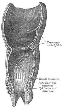 Coronal section of rectum and anal canal.