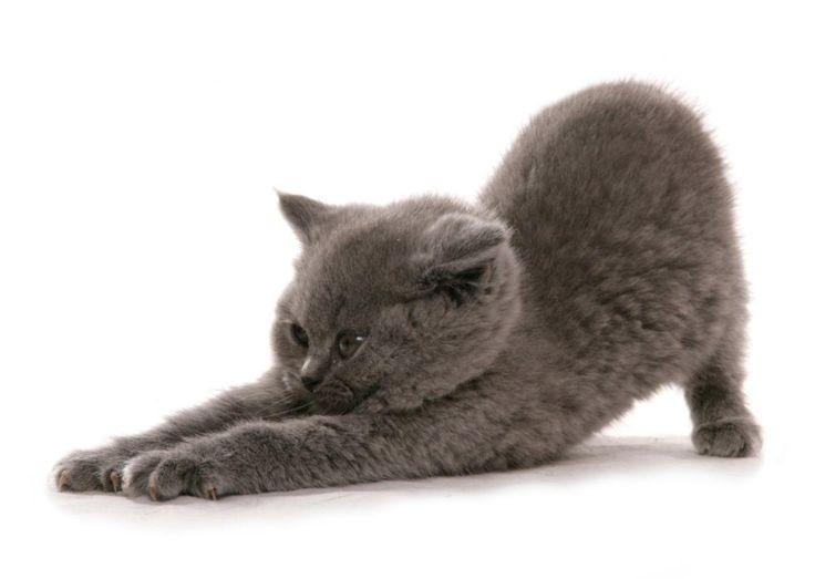 Cat Pose ~ British Short Hair Kitten