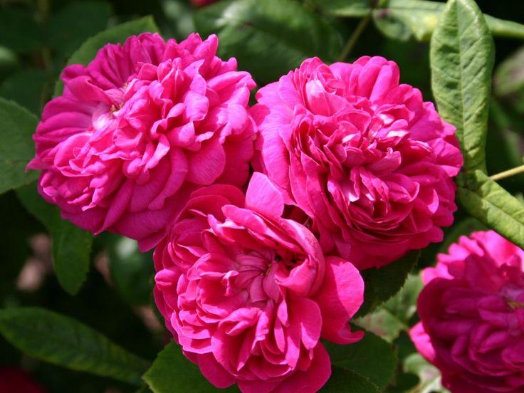 Strauchrose 'Rose de Resht' - Rosa 'Rose de Resht'