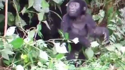 Un bébé gorille louche veut faire peur http://www.dailymotion.com/video/x4iqti3_un-bebe-gorille-louche-veut-faire-peur_animals