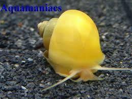 Výsledek obrázku pro ampularia