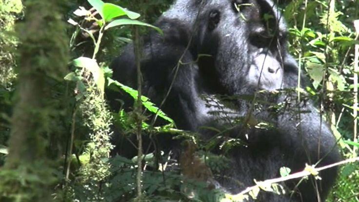 Дикая Африка. Уганда. Один час с гориллами