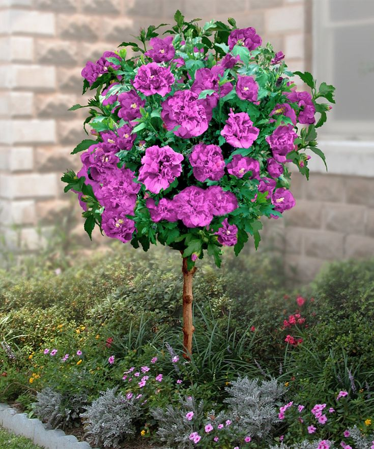 Best 25+ Hibiscus Tree Ideas On Pinterest