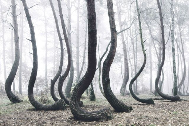 Photos of the Strange 'Crooked Forest' in Poland.