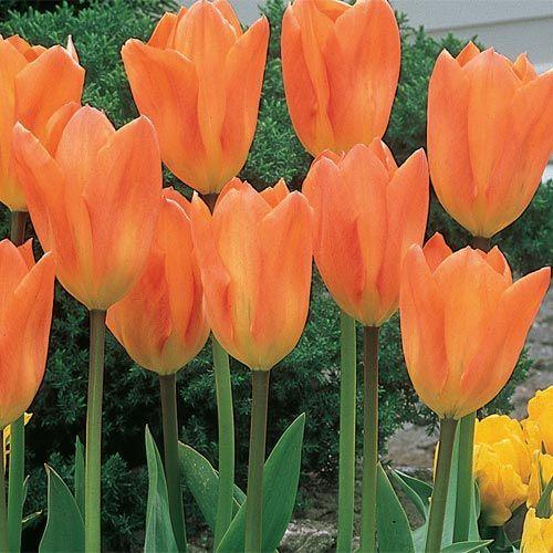 Buy Orange Emperor Tulip at Brecks Wholesale