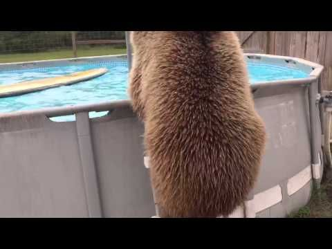 This Massive Bear Jumping Into A Pool To Cool Off Is How We All Feel During The Summer