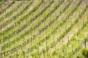 Our vineyard Anfiteatro #franciacorta #vine