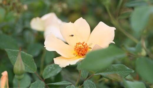 Mrs Oakley Fisher forma un cespuglio regolare e pieno dalla base con fiori gialli semplici e stami ben evidenti. Rifiorisce continuamente, profumata.
