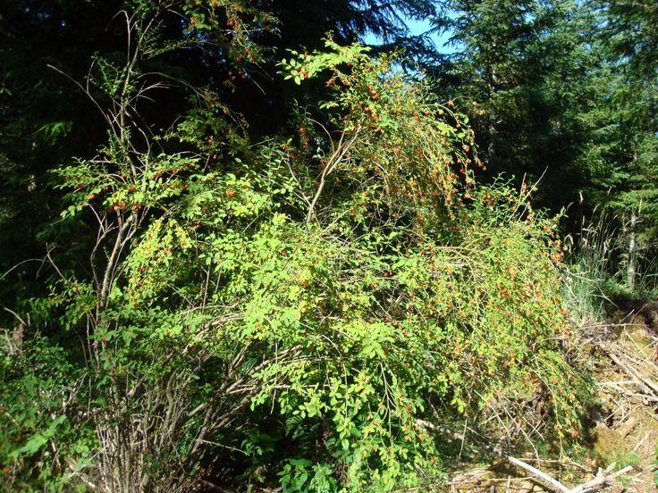 Huckleberry Picking Reports around the Region