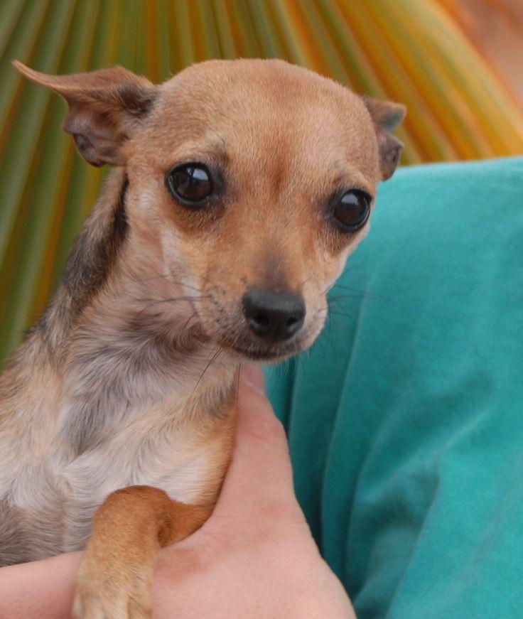 368 Beste Afbeeldingen Over Chihuahua Pups Dogs Op
